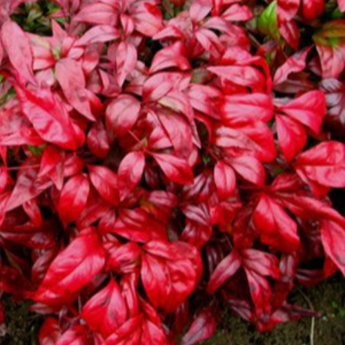 泰安金枫 专业培育红叶南天竹种植方法 出售红叶南天竹小苗