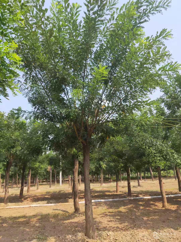 南通胸径30公分皂角树价格-70公分以上皂角树价格100年的皂角树值