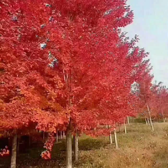 八公分美国红枫树苗批发价格 5公分美国红枫树苗 荣森银杏