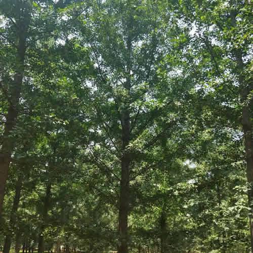 13公分银杏树 14公分银杏树 四季青银杏 12公分银杏树价格表