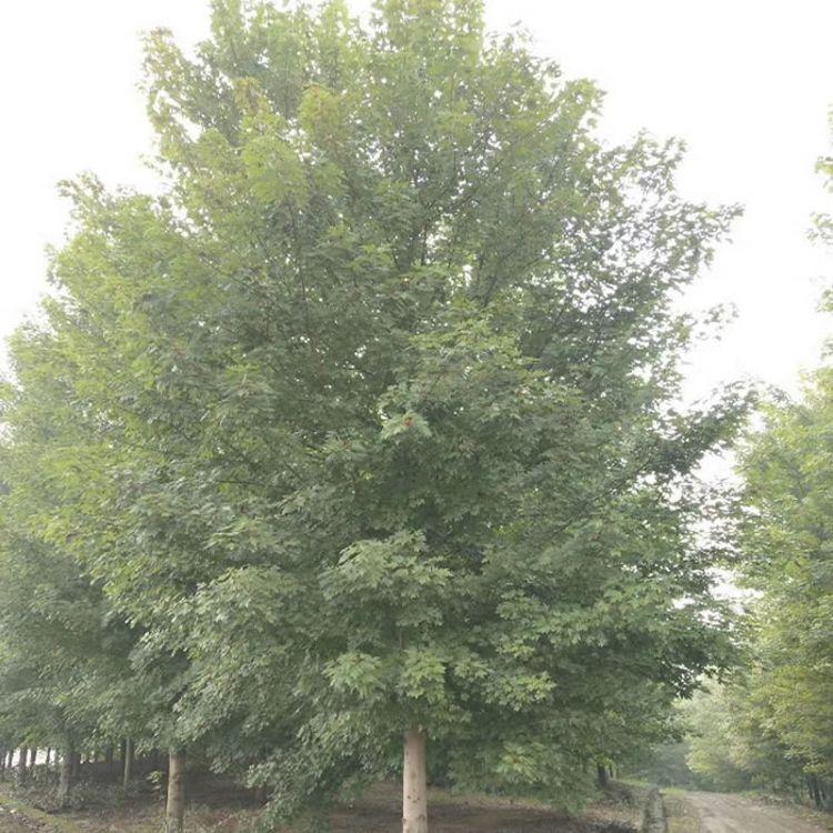 15公分红枫多少钱 米径15cm红枫最新价格 美邦红枫 15cm红枫
