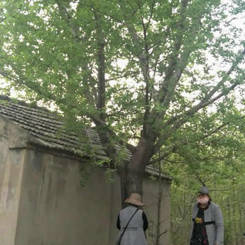 豪丽苗木 30公分实生银杏树多少钱 25公分实生银杏树多少钱