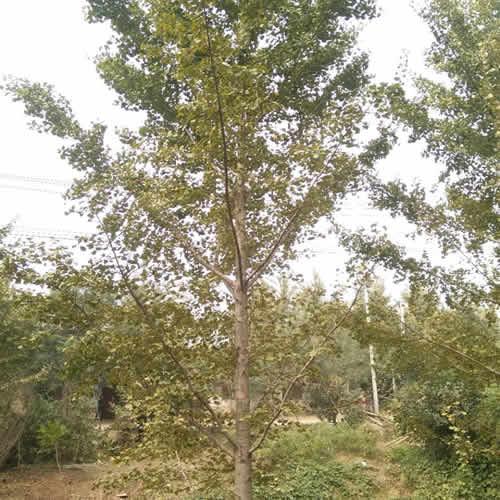 2019年白果树的价格 豪丽苗木 最新白果树批发销售