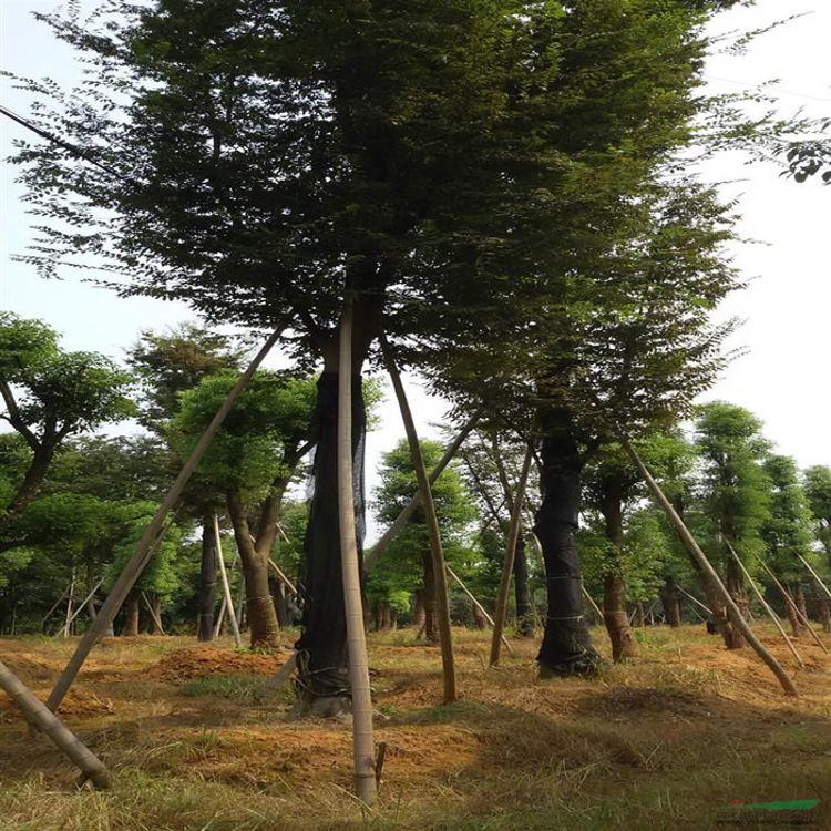 7公分榉树 6公分榉树价钱 榉树怎么卖 金鼎苗木