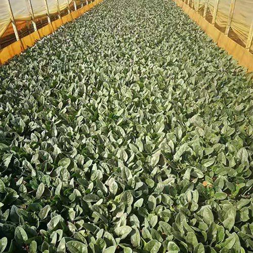 无土栽培蔬菜批发经销商 高榕 碱性蔬菜批发配送