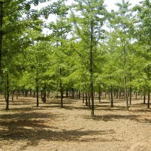 19公分白果树多少钱一棵 老兵苗木 39公分白果树多少钱一棵