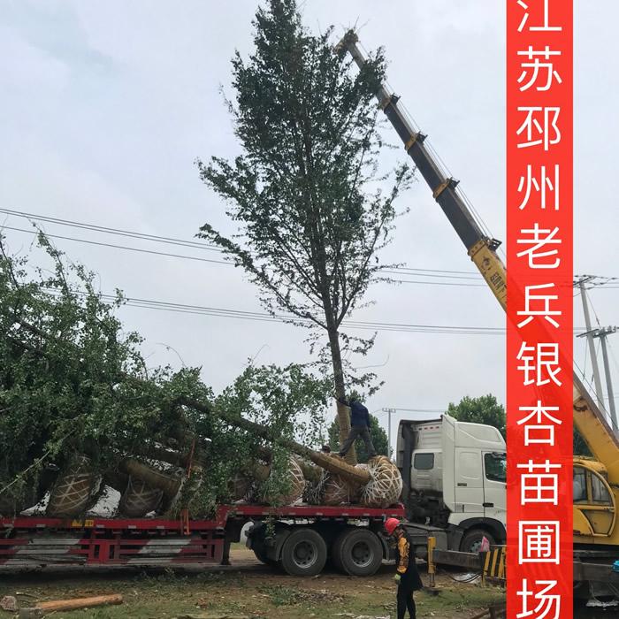 45公分银杏树多少钱一棵 老兵苗木 28公分银杏树报价