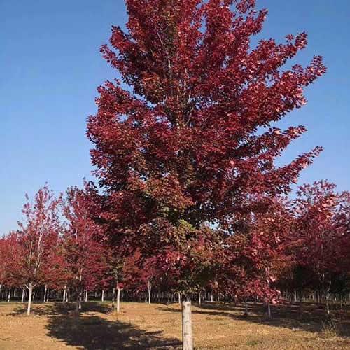 丛生美国红枫价格表 各种规格丛生美国红枫基地 德祥苗木