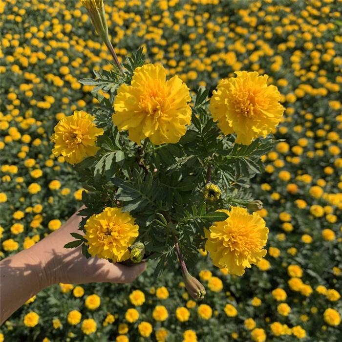 求购臭菊花购买基地 臭菊花大型种植基地 山东春泥园艺