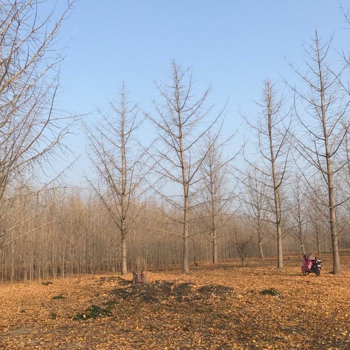 42公分银杏树多少钱一棵 43公分银杏树基地 老兵苗木