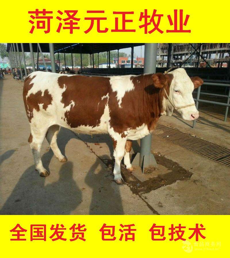 嘉兴肉牛犊活体