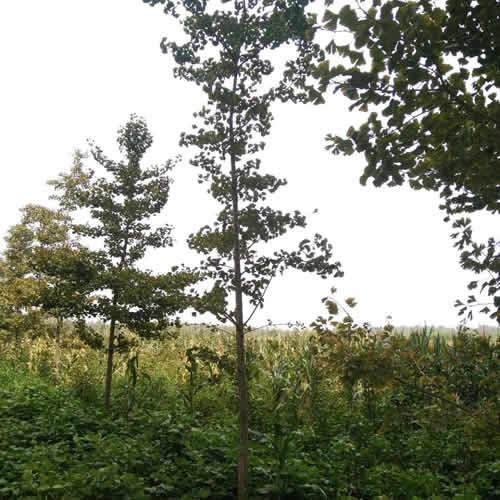 各种规格银杏树多少钱 豪丽苗木 最近银杏树批发价格