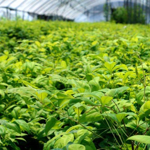 东枫园林 专业种植基地红叶南天竹哪里买 红叶南天竹批发报价