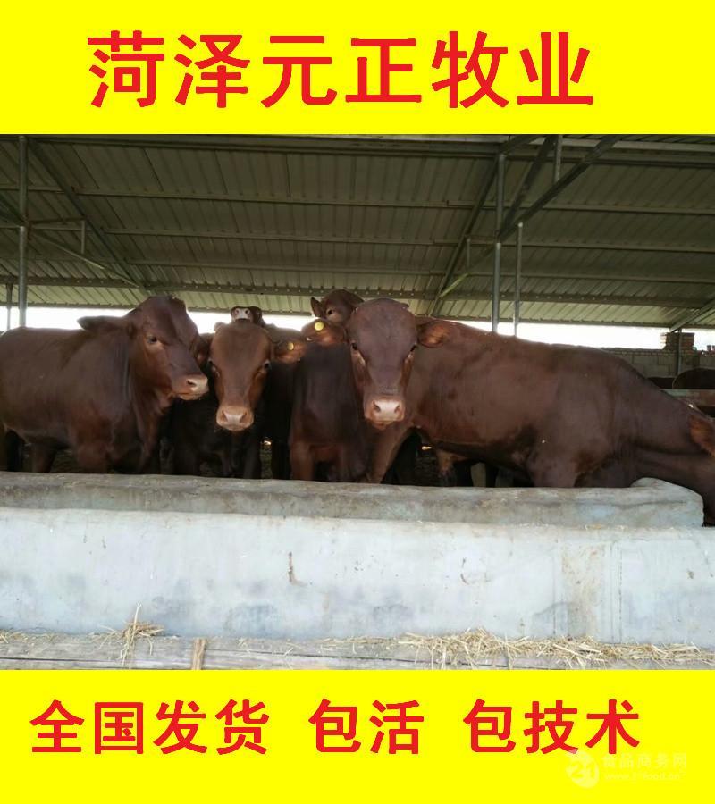 蚌埠肉牛犊价格查