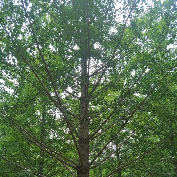 美邦银杏 胸径二十公分银杏苗木
