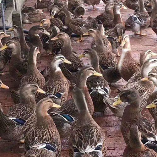 大种鸭苗出售 大种鸭苗养殖 惠民 养殖大种鸭苗报价