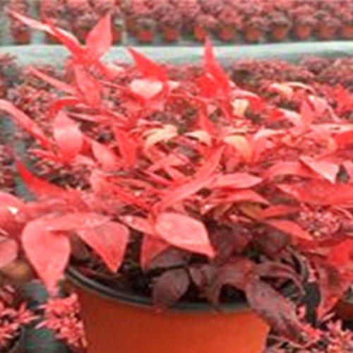 泰安金枫 专业培育红叶南天竹种植方法 专业培育红叶南天竹大苗