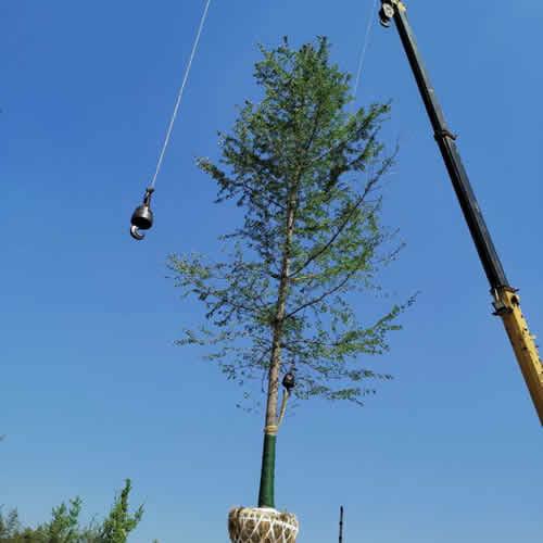 13公分银杏实生树批发价格 银杏实生树的价格 智诚苗木