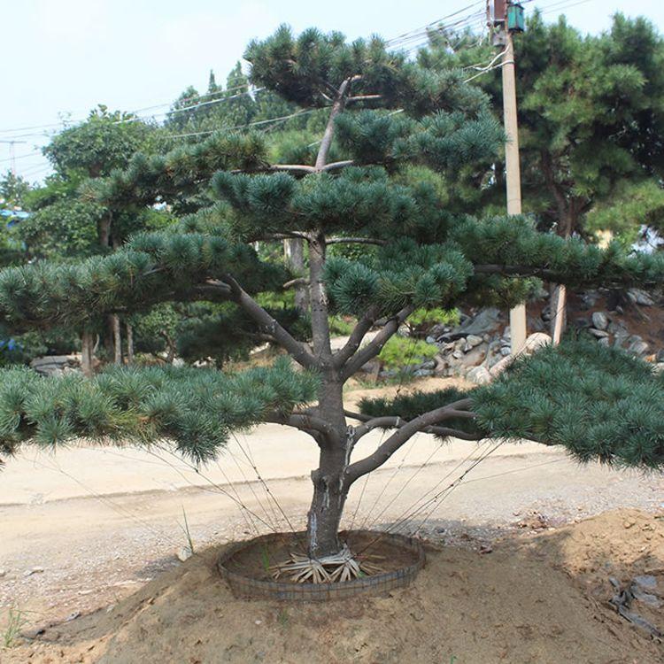 8公分松树的价格 聚邦缘 徐州松树 5公分松树