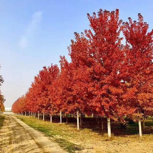 胸径15公分美国红枫多少钱一株 美国红枫多少钱