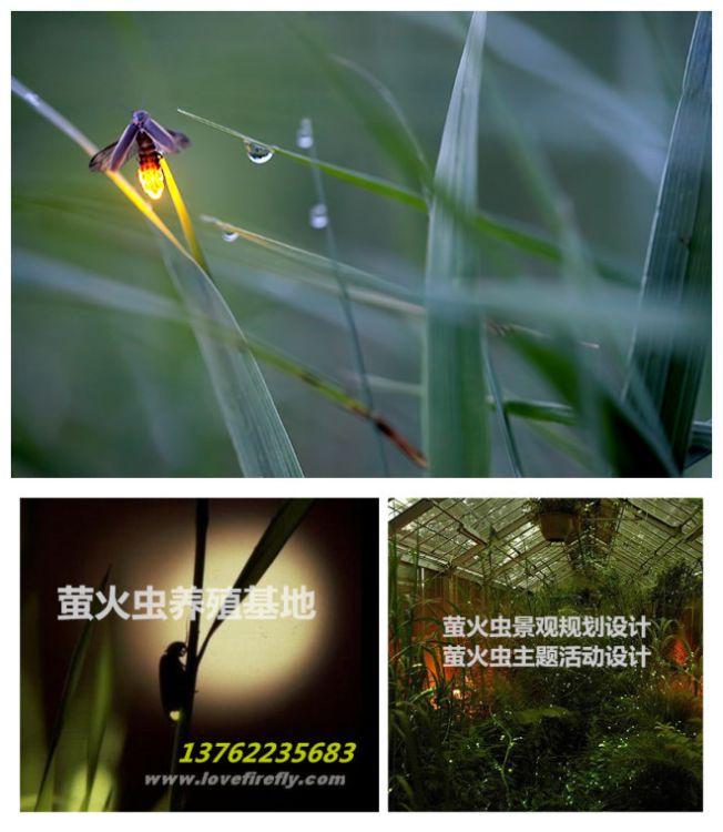 萤火虫养殖饲养培育技术指导景区萤火虫旅游规划
