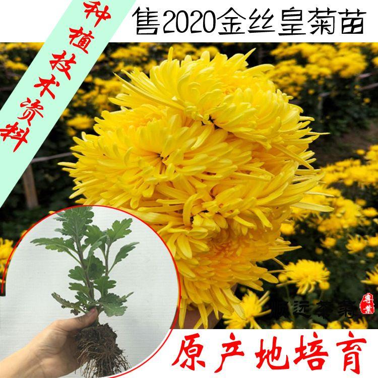 原产地金丝黄皇菊苗一株价格 金丝皇菊种植技术