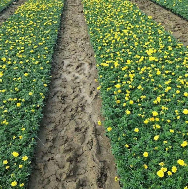 万寿菊 高25公分左右  别名臭芙蓉、蜂窝菊、臭菊花、蝎子菊