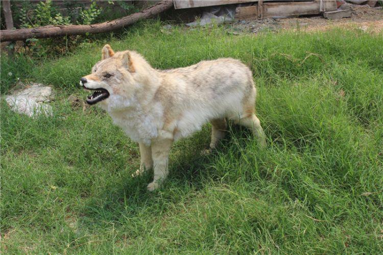 狼毛仿真狼一比一仿真狼毛仿真动物模型照相器材狼